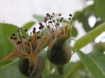 Junge Birnen, die auf einem Baum growwing sind Stockbilder
