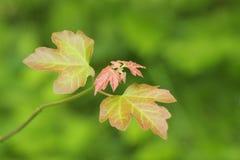 Junge Blätter Stockfotos