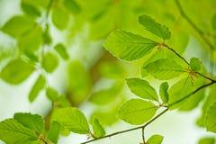 Junge Blätter Lizenzfreies Stockfoto