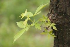 Junge Blätter Stockfoto