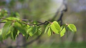 Junge Blätter der gemeinen Weißbuche mit Wald der Sonnenstrahlen im Frühjahr lizenzfreie stockfotos