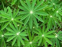 Junge Blätter der Lupines Lizenzfreies Stockfoto