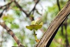 Junge Blätter der Trauben Stockfotografie