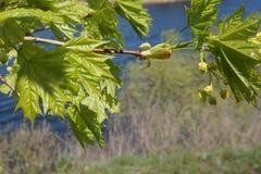 Junge Blätter des Ahorns schwingen im Wind stockfotografie