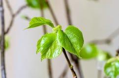 Junge Blätter des Klein-leaved Kalkes Stockbilder