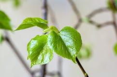 Junge Blätter des Klein-leaved Kalkes Lizenzfreie Stockfotografie