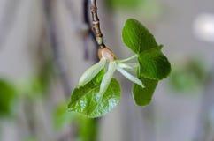 Junge Blätter des Klein-leaved Kalkes Stockbild