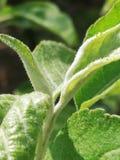 Junge Blätter des Pfirsiches stockfotos