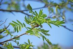 Junge Blätter einer Eberesche im Vorfrühling Stockfoto