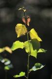 Junge Blätter eines Baums auf einer Niederlassung Stockbilder