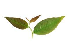 Junge Blätter Schließen Sie herauf die grünen Sternstachelbeerblätter, die auf w lokalisiert werden lizenzfreie stockfotos