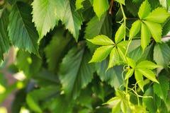 Junge Blätter von dekorativen Trauben Lizenzfreie Stockfotos