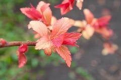 Junge Blätter von Weigela bepflanzt Blüte mit Büschen Lizenzfreie Stockfotos