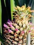 Junge blühende Ananas lizenzfreies stockfoto