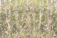 Junge blühende Niederlassungen von Bäumen Das frische frühe Laub Stockbild