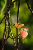 Junge bodhi Blätter Stockfotos