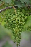 Junge Bourgogne-Weintrauben Stockfoto
