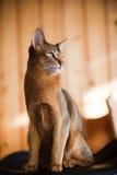 Junge braune abyssinische Katze Lizenzfreie Stockfotos