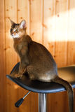 Junge braune abyssinische Katze Stockbild