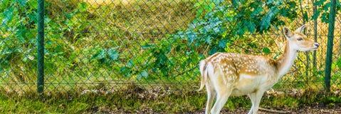 Junge braune Damhirschkuh mit Weiß punktiert nette Fahne stockbild