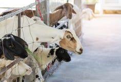 Junge braune Schafe des Viehs, die Gras essen Lizenzfreie Stockbilder