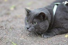 Junge britische graue Katze, die draußen jagt Lizenzfreies Stockbild