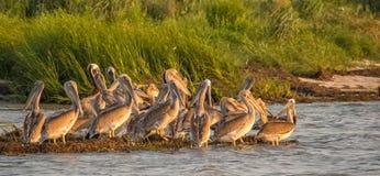 Junge Brown-Pelikane Lizenzfreies Stockbild