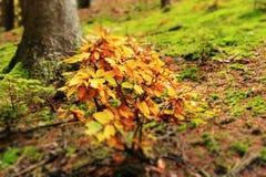 Junge Buche im Herbst stockbilder