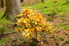 Junge Buche im Herbst stockfoto