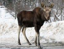 Junge Bull-Elche Stockfotografie