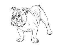 Junge Bulldogge Stockfoto