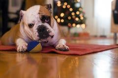 Junge Bulldogge im Studio Stockfoto