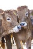Junge calfs, die zusammen stehen Stockfotografie
