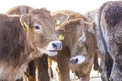 Junge calfs im Zaun Lizenzfreies Stockbild