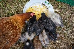 Junge chichken Familie Lizenzfreies Stockfoto