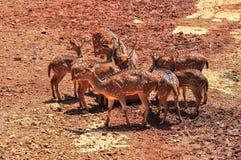 Junge chital oder cheetal Rotwild Stockfotografie