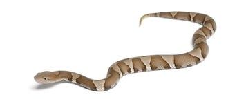 Junge Copperhead Schlange oder Hochlandmokassin Lizenzfreies Stockbild