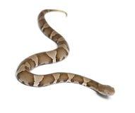 Junge Copperhead Schlange oder Hochlandmokassin Stockfotografie