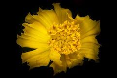 Junge cosmo Blume auf schwarzem Hintergrund Stockfotos
