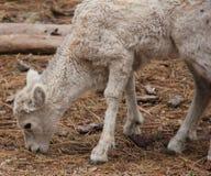Junge Dal-Schafe lizenzfreie stockfotos