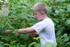 Junge in den Büschen von Himbeeren stockfoto