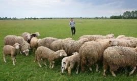 Junge, der über Schafherde auf Wiese aufpasst Lizenzfreie Stockbilder