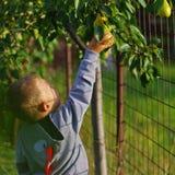 Junge, der eine Birne nimmt Stockbild
