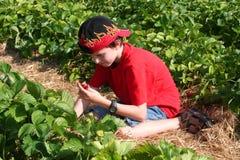 Junge, der eine Erdbeere auswählt Lizenzfreie Stockfotografie