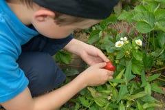 Junge, der Erdbeeren auf Gartenbett aufhebt Stockfotografie