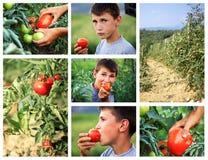 Junge, der frische ausgewählte Tomate auf den grünen Gebieten isst Lizenzfreie Stockfotos