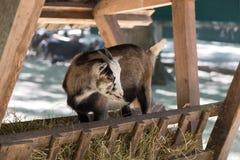 Junge, die Heu in einem Stall auf einem Bauernhof essend goatling sind Stockfotografie