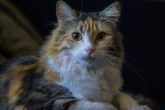 Junge drei-farbige Katze, die auf dem Kissen liegt Lizenzfreie Stockfotos