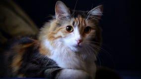 Junge drei-farbige Katze, die auf dem Kissen liegt stock video footage