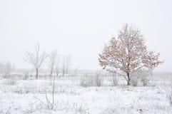Junge Eiche wächst im Winter Stockfotos